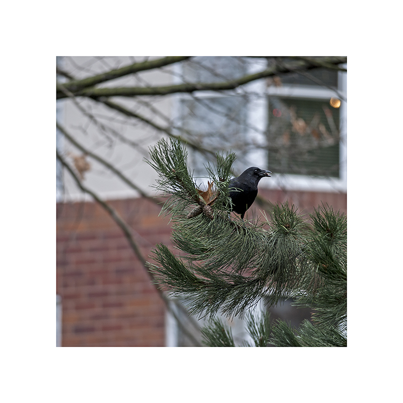 Crow on Moberly Road, eating something it plucked out of a pinecone.