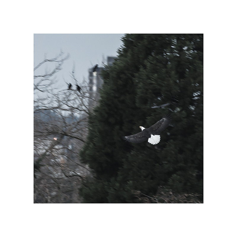 An eagle in flight, being harassed by crows