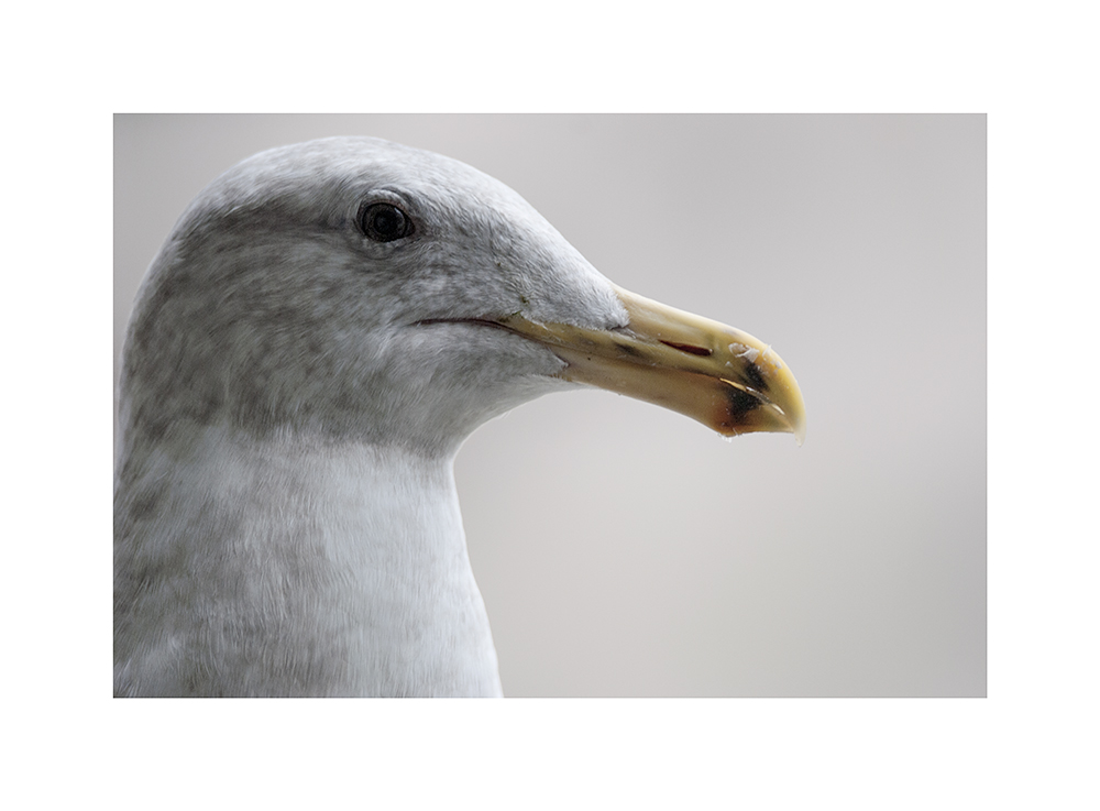 Its beak is smeared with stolen suet and sunflower heart bits.  Get off my feeder, gull!