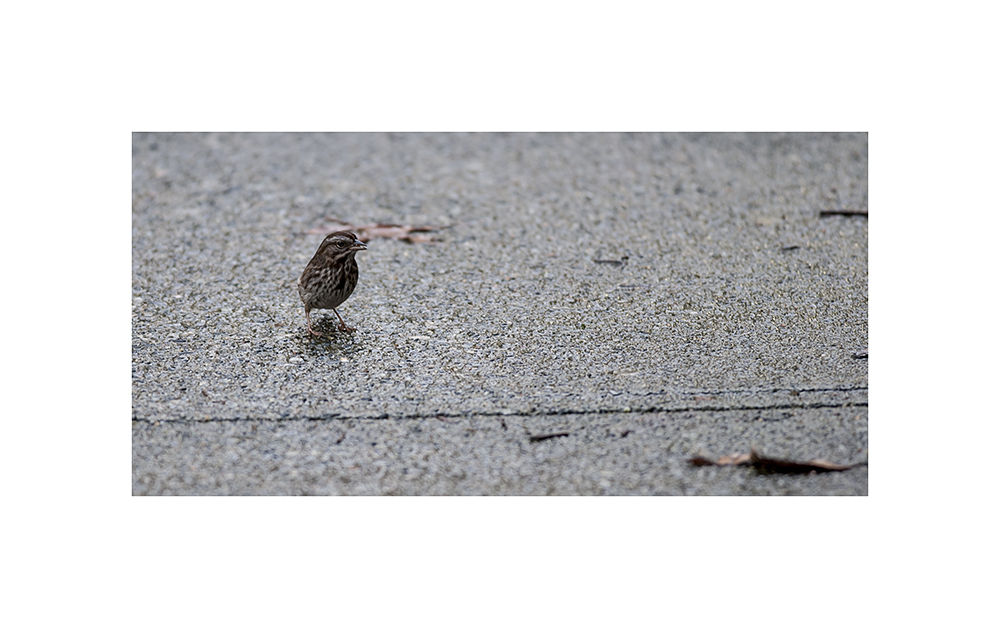 Song sparrow on Moberly Road
