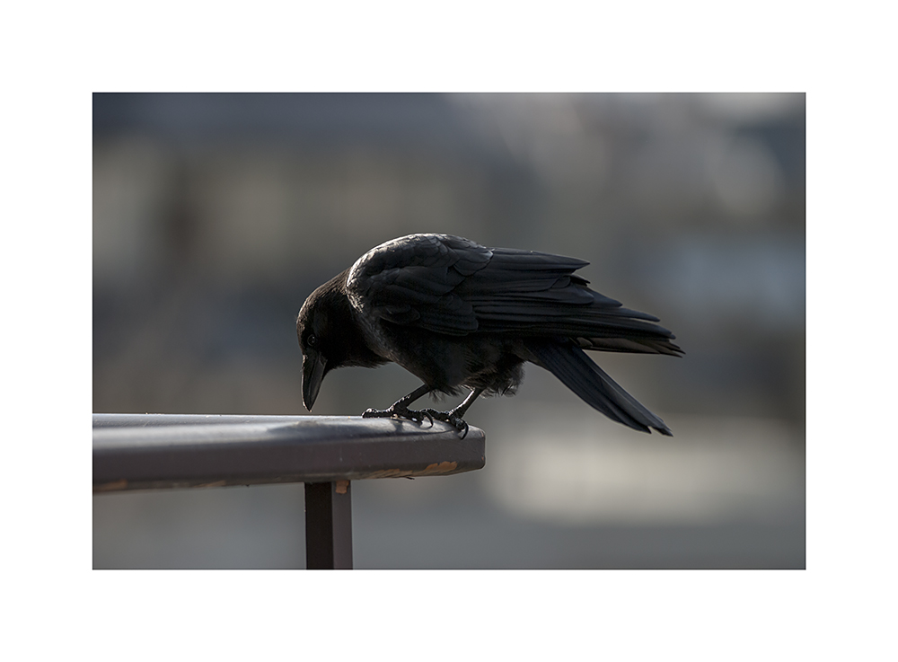 Not the same crow as befouled my balcony.  But I'm sure it'll be back later, to do that.
