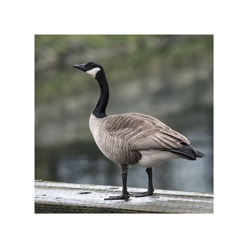 How do you feel when you marry your ideal?  Ever so goosey, goosey, goosey, goosey, goosey.