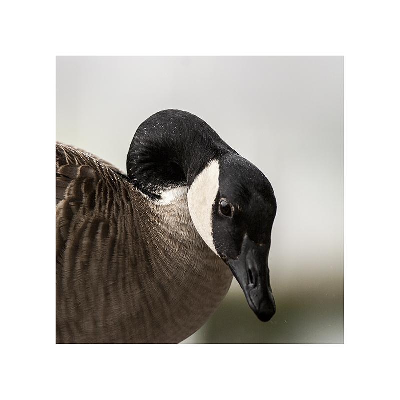 A malevolent goosey stare....