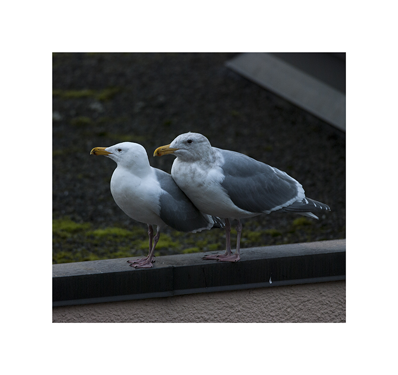 Gulls, bunched up for warmth.
