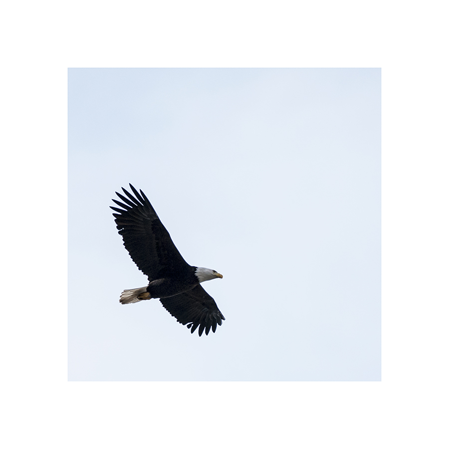 While I was pursuing this eagle, I trod in a pothole that contained a puddle -- a deep enough puddle to fill my shoe to the brim, and splash my trouserleg.  Several passers-by laughed, chortled, or giggled, leading me to wonder why, as they were clearly watching my progress, none of them thought to sound the warning.  The real Larry David might've appreciated that.