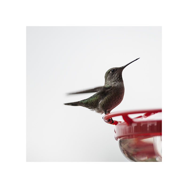 Striking a bit of a victory pose; well done, hummingbird.
