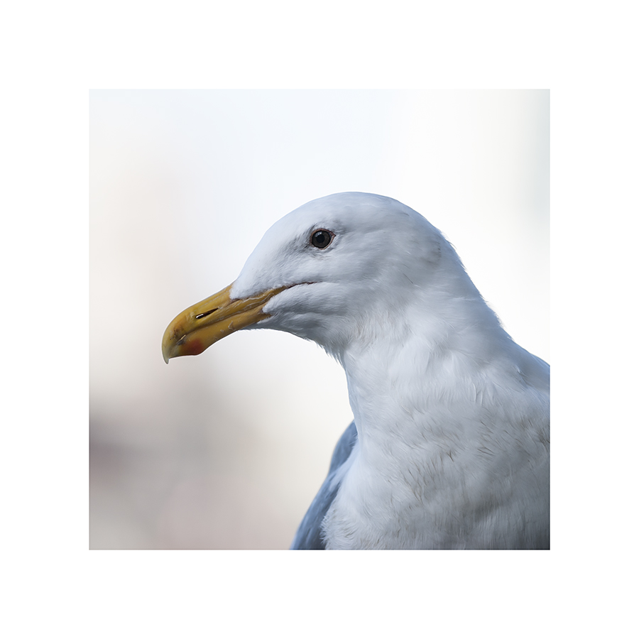 The birds are beginning to strut their spring plumage:  this gull is losing the grey speckles on its head and neck.