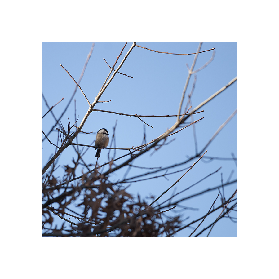 I found a chickadee!  It was sleeping....