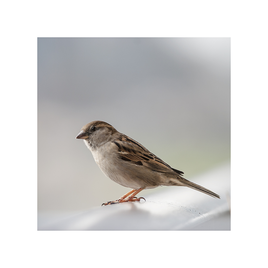 This little sparrow looks like butter wouldn't melt in her beak.  Looks can be deceptive.