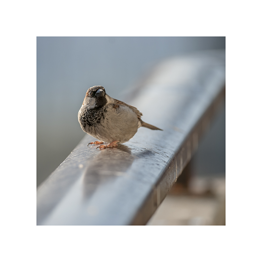 This is a sparrow of ordinary size and proportion, puffed up and contorted into a strange, blowfishy stance.  Very frightening, sparrow.  You're the man.