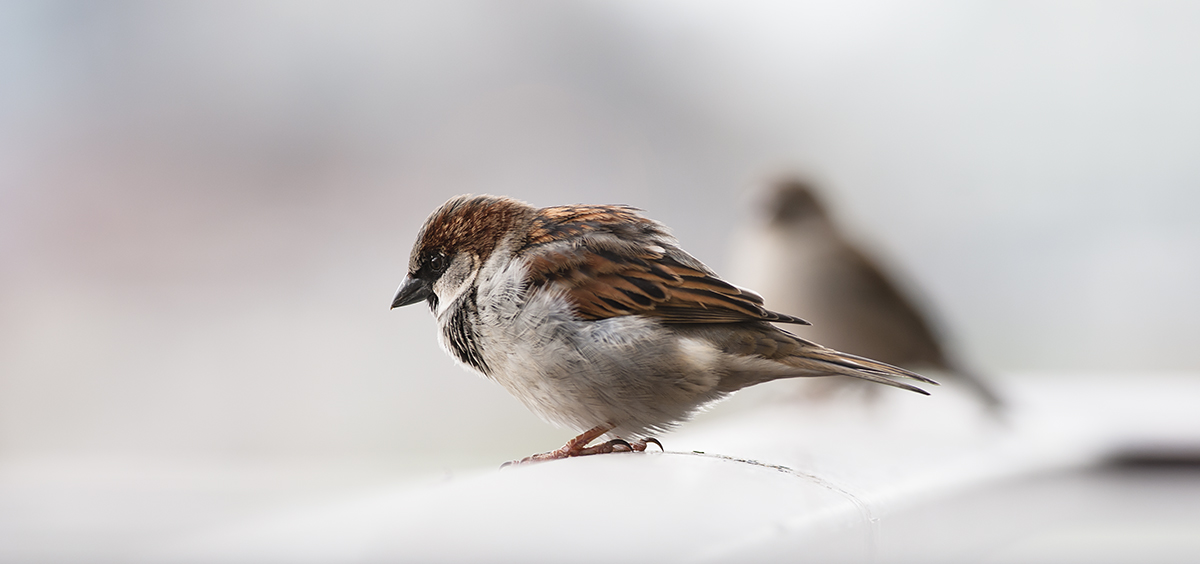 A house sparrow, and another house sparrow (in the background, blurred out).  I was hoping the pictured sparrow would move, so I could snap the other one -- the females, I feel, are much prettier than the males -- but he stood there the whole time, shaking out his feathers.  She flew away, while he preened.
