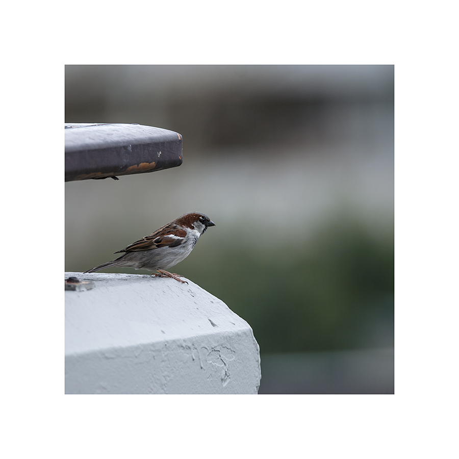 This sparrow has yet to master the art of not being rained upon.
