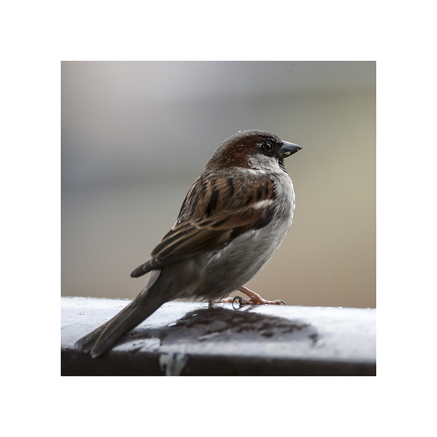 A wet, unhappy sparrow, sheltering on my balcony.  It was so reluctant to face the weather that it didn't even move when I came out to sweep.