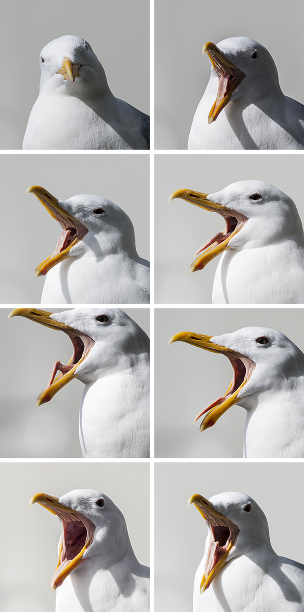 Finally, a use for burst mode:  capturing bird yawns in stop motion!