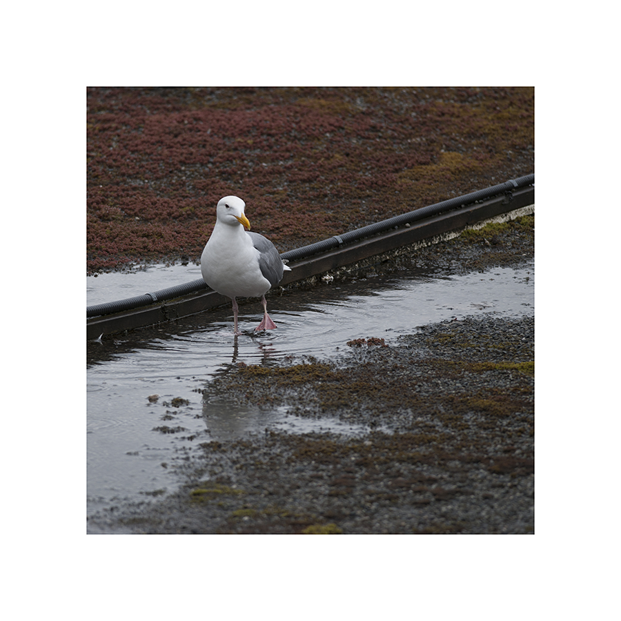 This gull has given up on dry land.  The puddles -- they're everywhere!   (In fact, he's having a drink.  The gulls seem far less perturbed by the rain than the other birds.  Probably because they spend so much time in the water.)