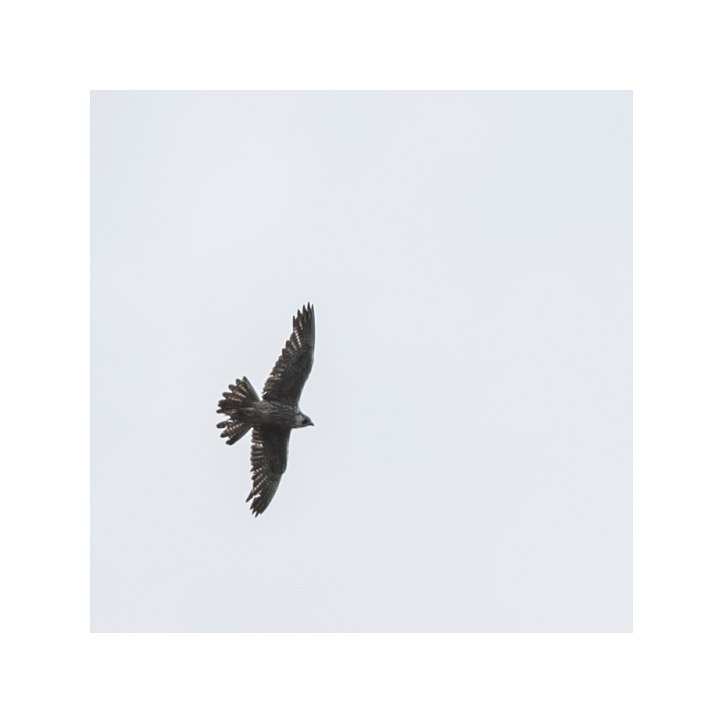 The peregrine falcon came back, today.  I know it's the same one, because it has the same worn patches on its wings and tail.  Once again, it didn't come anywhere near me.  But this time, I got an identifiable shot.