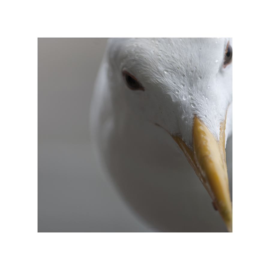 Little drops of water adorn the top of this gull's head.  The rest of him looks surprisingly dry:  his feathers haven't bunched up, like the other birds'.  Must be some kind of waterbird adaptation, like webbed feet.