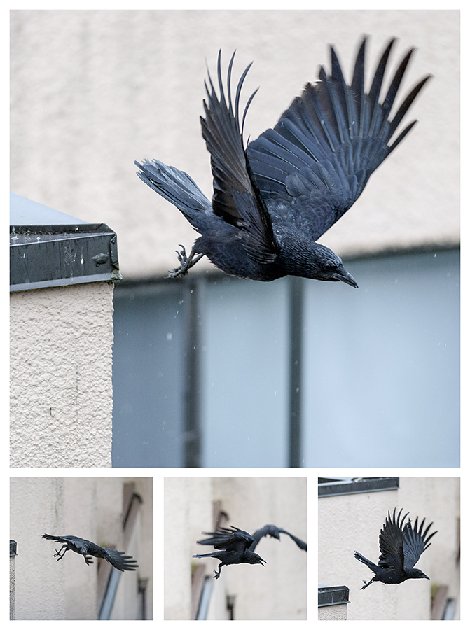 A pack of crows -- five or six of them, all told -- spend twenty minutes flying from one side of the courtyard to the other, bawking furiously all the while.  I look on, mystified.  What strange ritual is this?  Do they like flying in the rain?