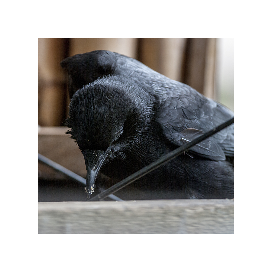 It's been more than a week, now, since I first spied this broken crow.  Although he seems to be getting by all right, I'm not sure he'll ever be the same.