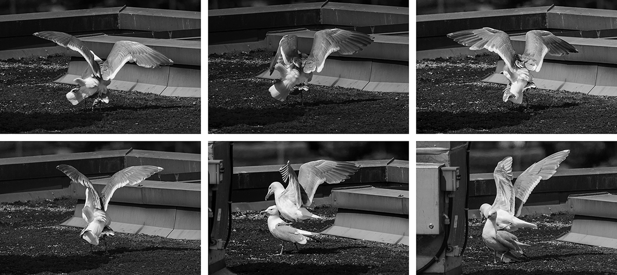 And...the quest for MOAR GULLS continues.  This is curious:  I saw the female gull laying eggs, today.  Shouldn't they be finished with this part of the process?