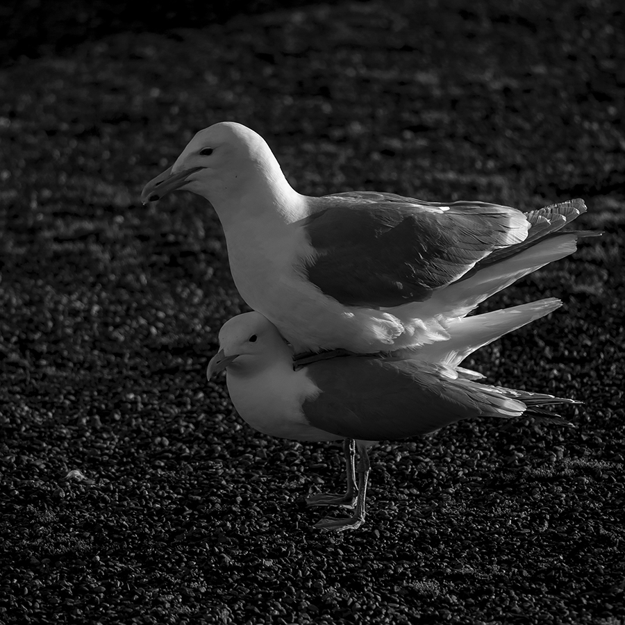 That's right.  Mr. Gull has paused, mid-coitus, to serenade his mate.  There he is, sitting on her back, singing a little song...