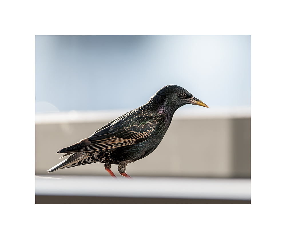 My starling visitor, with his feet cut off.  But, hey, this is proof he exists!
