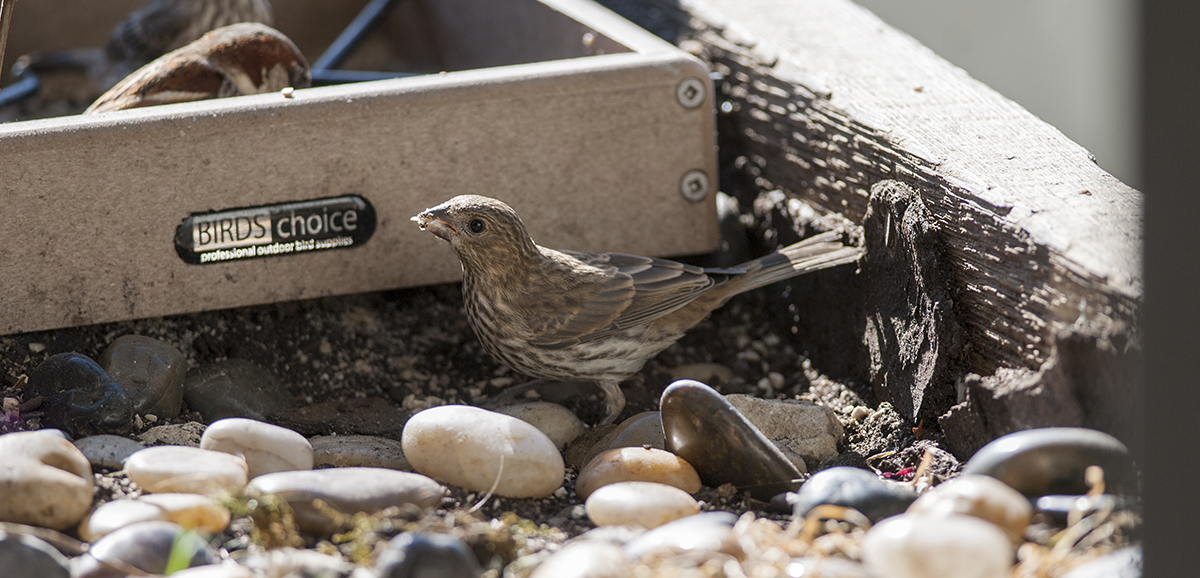 The feeder is occupied, so this finch is grubbling about in the dirt.