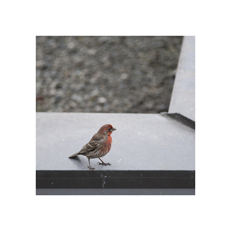 For some reason, the male house finch resists having his picture taken.  Every time I get out the camera, he flits mockingly out of range.