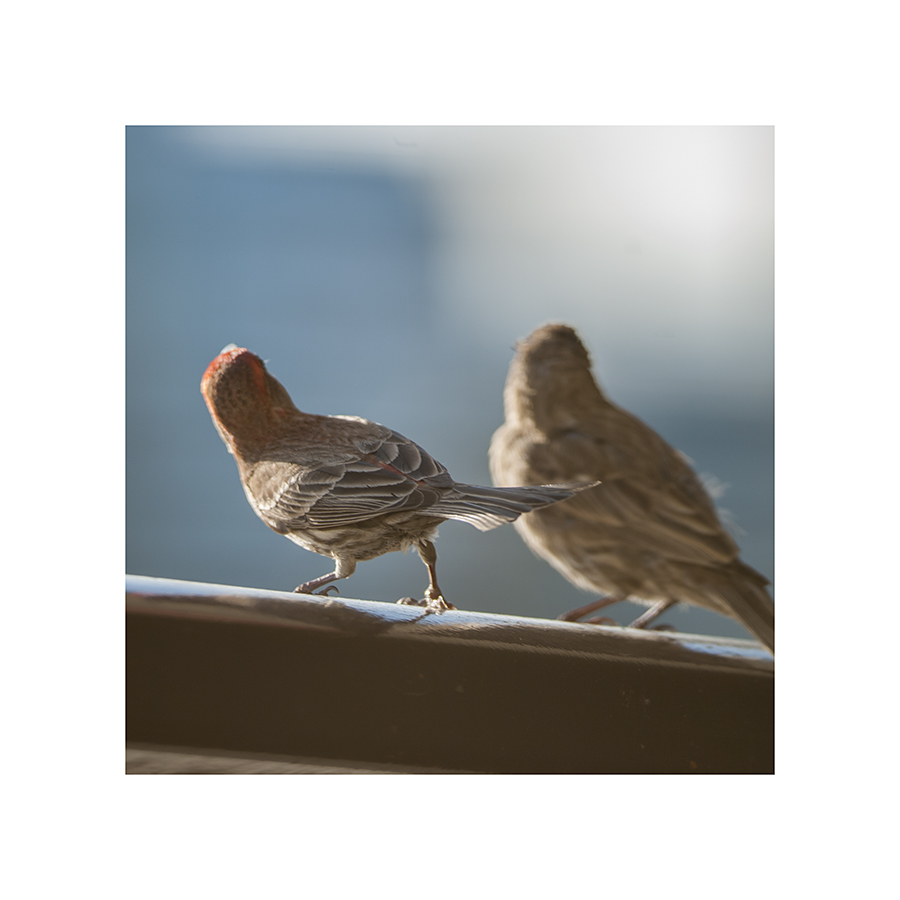 A still shot of the finches doing their dirty bird dance.  In this case, the male was rejected:  the female stood with her back turned, for a while, then pecked his face and flew away.  Later, she accepted the courtship of what appeared to be a larger, redder male.  (Ouch.)