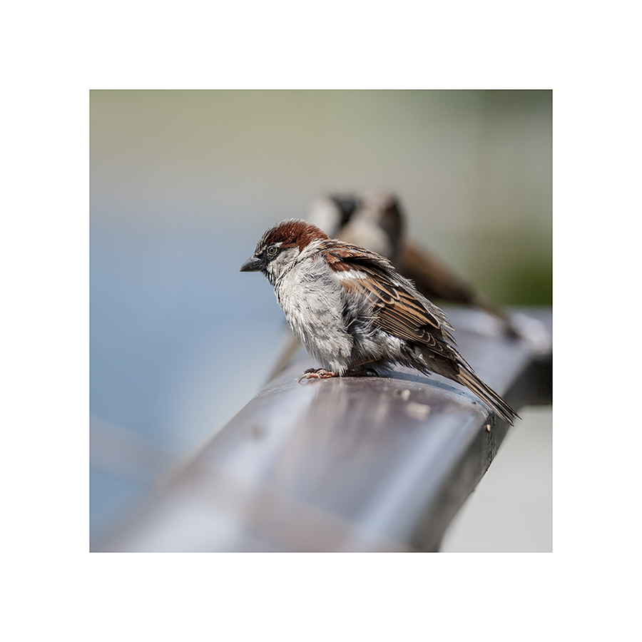 Having fanned in some cool air, the sparrow deflates.