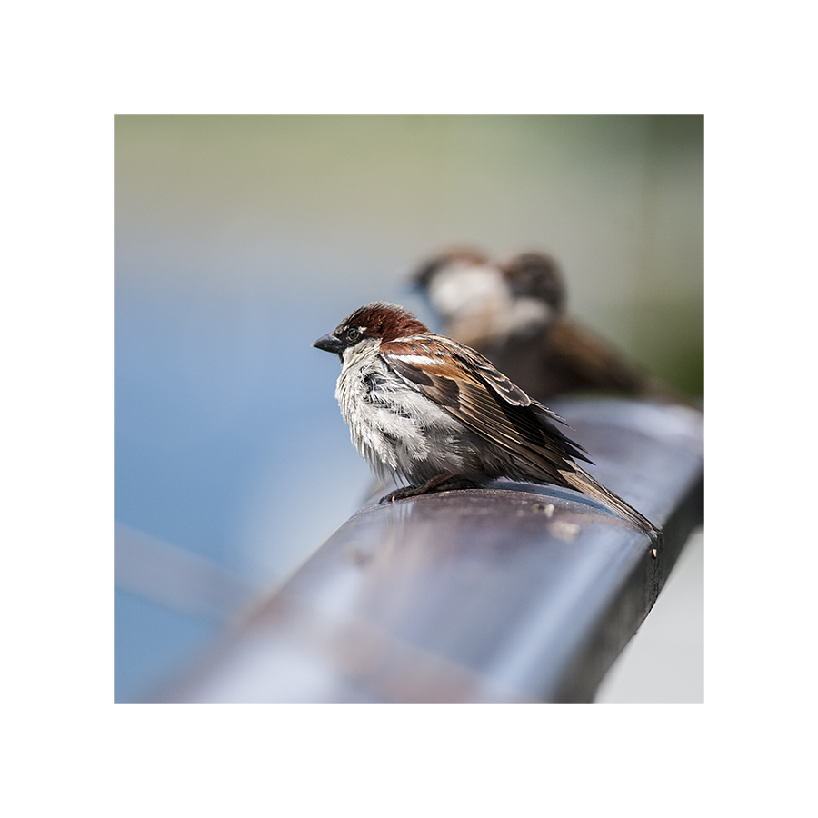 This sparrow stood on the railing with his friends, puffing and unpuffing, for quite some time.  I think he was sleeping, for a couple of minutes.  Even birds feel lazy on a sunny afternoon.
