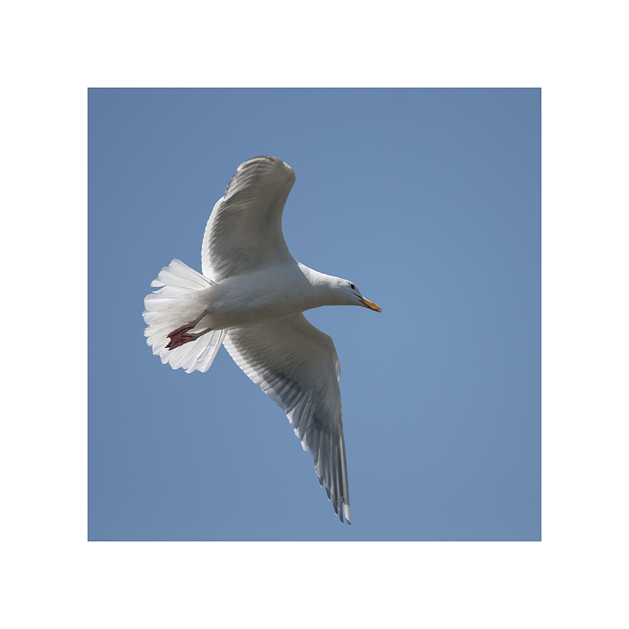 So, this gull's cruising around, riding the air currents, all peaceful-like...