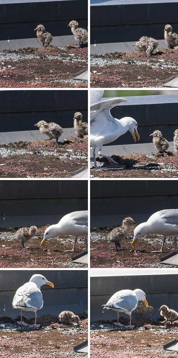 I've included an adult gull in a few of these shots, to illustrate the difference in size.  I swear, though, the minigulls are much less mini- today than they were, even yesterday.  Soon, they'll be enormous.