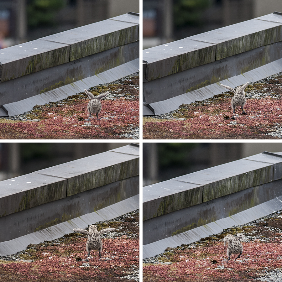 I don't know whether to laugh or lament, watching this.  Over and over, the more adventurous of the minigulls flaps its wings, and jumps up and down.  Results are, ehh, rather less than spectacular.