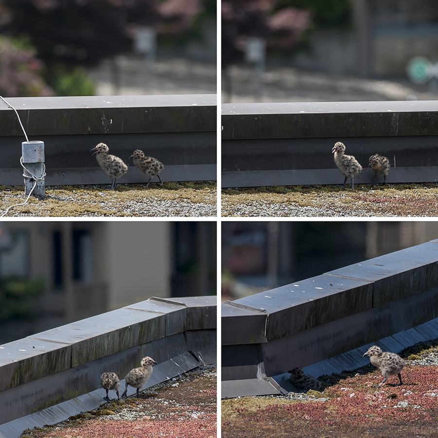 The minigulls are beginning to develop distinct personalities, insofar as a gull can be said to have a personality.  The larger one is bold, and very eager to fly.  It spends its days running about, jumping up and down, and waggling its wingstubs all over the place.  The smaller one spends most of its time snuggling up to the railing, and trying to crawl under its mother.  It'll probably end up thirty years old and living in...ehh, well, gulls' parents haven't got basements, so I guess the equivalent would be the next roof over.