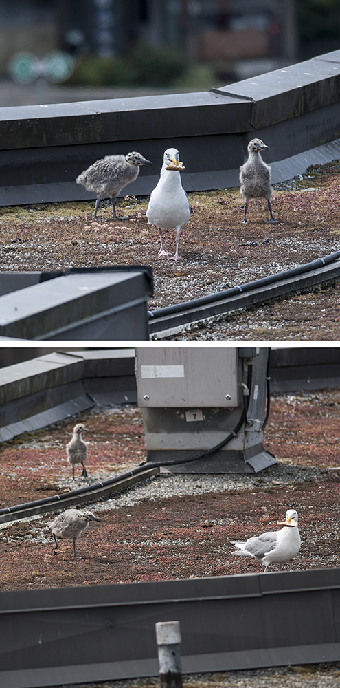 One of the adult gulls found a bit of bread, or orange peel, or something.  I'm not entirely sure what that was.  Both minigulls wanted it, and pursued their parent around, till the treat was gone.  They didn't get any.