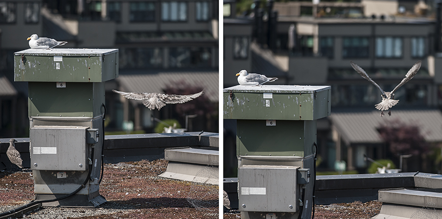 Not today.  Although the larger of the minigulls achieved some decent altitude, he didn't try to go anywhere.  He flapped a few feet straight up, then let himself down gently, back onto the railing.  Keep trying, gull!
