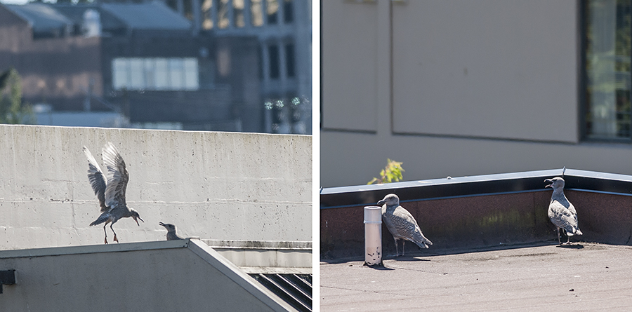 Left:  This minigull is nearly ready to fly.  All day long, it jumps up and down, flapping like mad.  It doesn't get anywhere.  Right:  This roof also has minigulls, not quite ready to fly, but nearer the goal than my minigulls.
