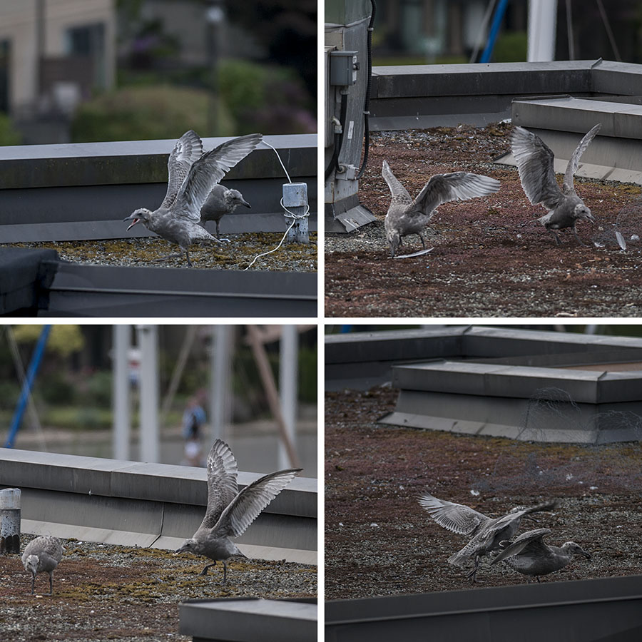 Sometimes, it looks like they're legitimately practicing for their first big flights.  Other times, I get the distinct impression they're playing.  Note, in particular, the upper right photo, where they've found a discarded feather, and are fighting over it.