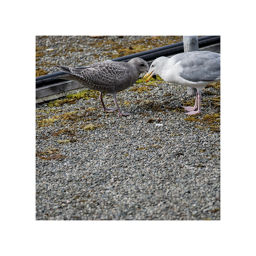 These gulls are not being affectionate, rubbing their beaks together.  Rather, the young gull is trying to trigger a regurgitation reflex, by poking the red spot on its father's beak, so it can get a free meal.  Charming, eh?