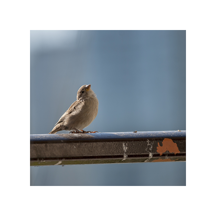This sparrow looks like it's listening for something....  Maybe it is.  Soon, the house sparrows will go away, for the winter.  I'll miss their chirpy song, but my birdseed costs will be cut nearly in half.