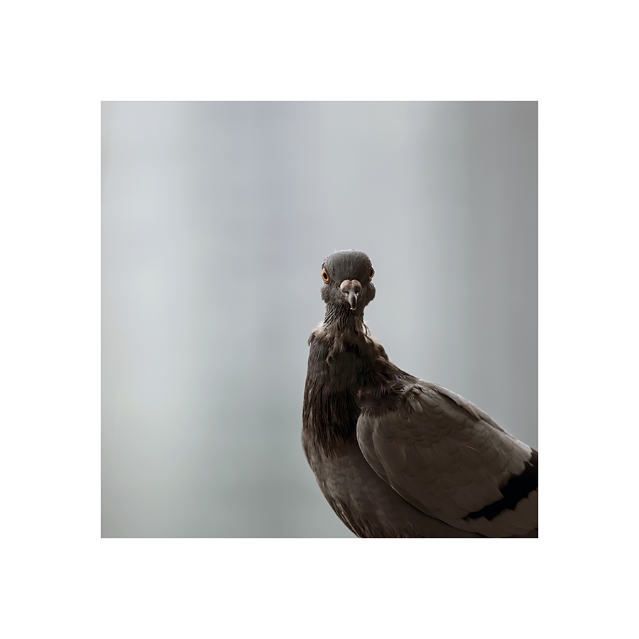 In fact, this pigeon is just at an awkward stage of its regular autumn moult.  Unlike the worthless crapbawky, it's got feathers on its neck.  They just haven't finished sprouting, yet, giving it a somewhat scraggly appearance.  You can't see its crinkly birdskin, when it turns its back.
